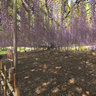 Huge wisteria tree with flowers