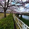 Okazaki Ooya Park Cherry Blosson Lake