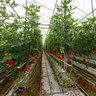 greenhouse for tomatoes