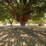 A Large Weeping Fig Tree In Ly Tu Trong Park, Hue