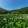 Zhuzihu MiaoBang Calla Plantation(Calla-lily Field)