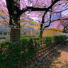 Setagaya - Sakura at front of Roka Primary School /   @ 