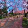 Sakura at Aoyama Cemetery / 桜 @ 青山霊園