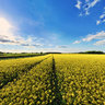 I Love These Yellow Fields Uk