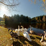 Swan family enjoying autumn sunbath in Ligatne, Latvia