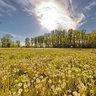 Slavonski Brod - Poloj - Dandelion Field