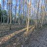 Pushkino. Birches grove in spring