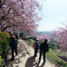 Kawazu-zakura cherry blossoms at Matsuda