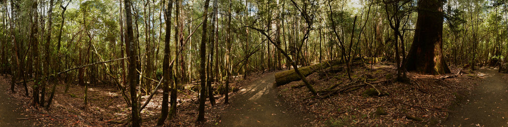 Eucalyptus Rainforest in the Mount Field National Park, Tasmania