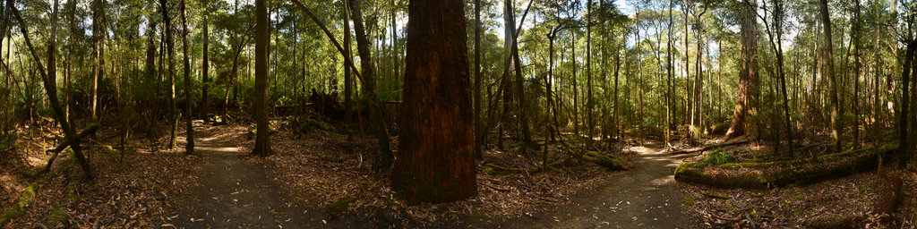 Eucalyptus Rainforest in the Mount Field National Park