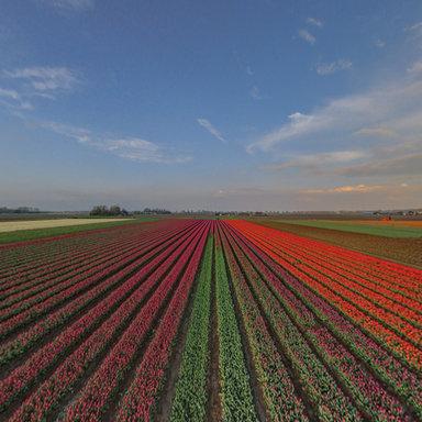 flowerfields, dutch tulips